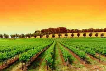 Constanta - Cultura vinului