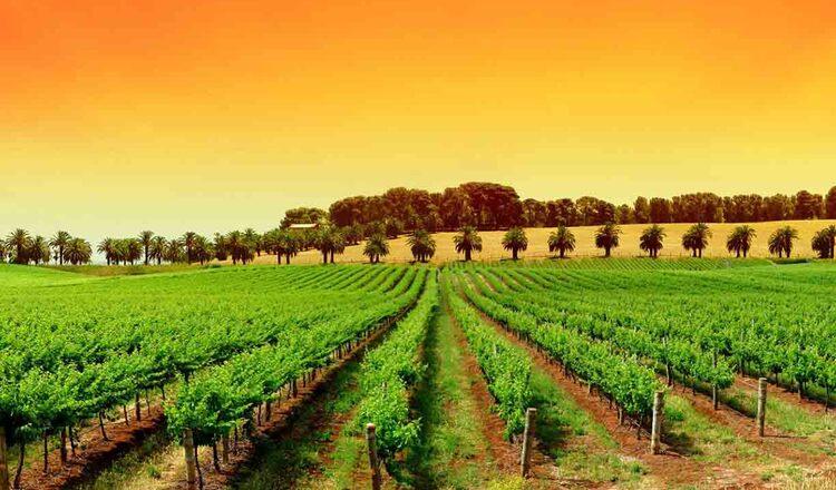 Cultura vinului